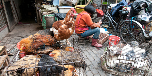 Surge in human H7N9 cases caused by poultry, not people