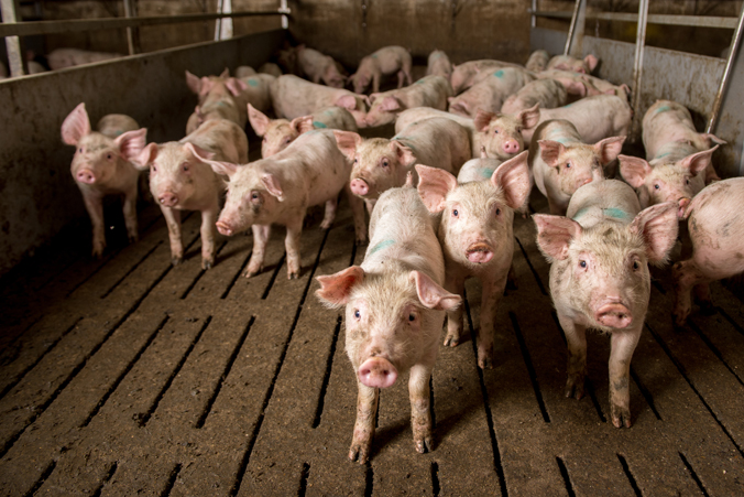 Images of pigs at a factory.