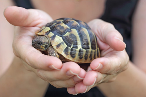 Pet turtles linked to multistate Salmonella Agbeni outbreak