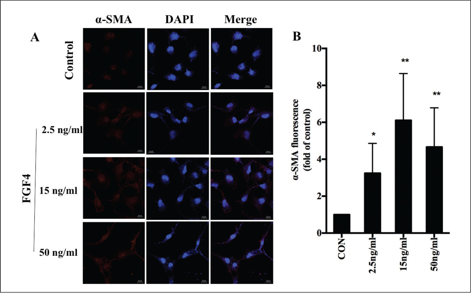 Fibroblast growth factor 4 (FGF4)–induced fibroblast transformation. (A) Fluorescent immunohistochemistry using a specific anti-α-smooth muscle actin (SMA) primary antibody and an Alexa-Fluor-555-conjugated secondary antibody demonstrated the fibroblast transformation induced by different concentrations of FGF4 (2.5, 15, or 50 ng/mL). Nuclei were stained with DAPI. Bar = 20 µm. (B) The induction effect was quantified and α-SMA fluorescence values were calculated as fold changes relative to the control. Data presented are means ± standard deviation (*P < .05, **P < .001).