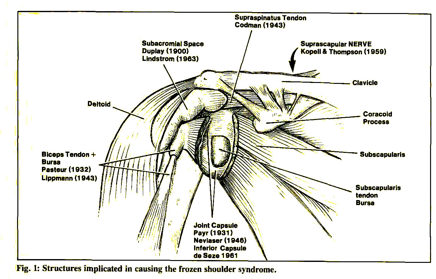 Frozen shoulder and physical therapy - 1 Structures Implicated In Causing The Frozen Shoulder Syndrome