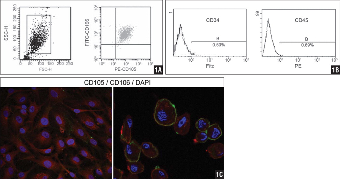 CD166-fluorescein isothiocyanate/CD105-phycoerythrin positive cells after immunomagnetic purification was identified by fluorescence-activated cell analysis (A). The same technology was also used to detect positivity for CD34 (0.50%) and CD45 (0.69%) (B). Laser scanning confocal fluorescence microscope detected mesenchymal progenitor cells after labeling with phycoerythrin-CD105 and fluorescein isothiocyanate-CD166 antibodies. DAPI (4′,6-diamidino-2-phenylindole) was used to highlight the nucleus. Geometrical mean fluorescence was used to measure the antibody binding in fluorescence intently (X axis). Representative of 5 independent experiments (C).