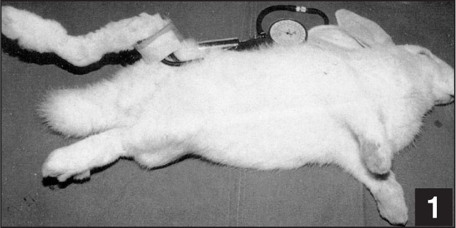 Photograph of the experimental setup. A 2- or 4-cm tourniquet cuff was applied to the rabbit's back right hindlimb and inflated to a 200 or 400 mm Hg pressure.