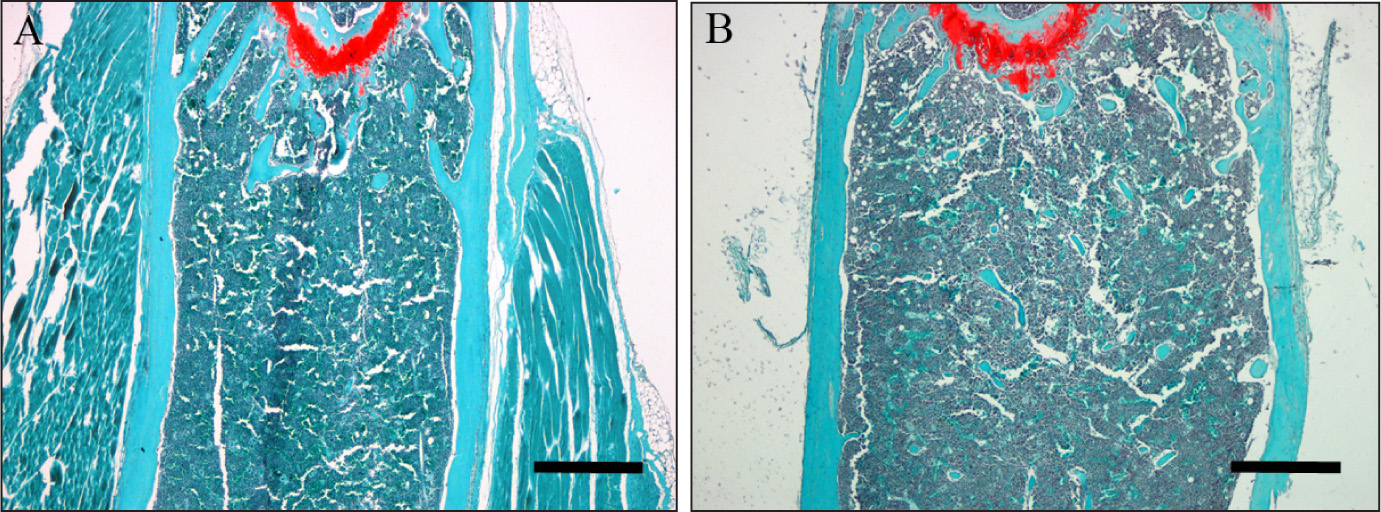 Microscopic images of thin sections of femur specimens harvested 35 days post-procedure (original magnification, ×4). Fast green stained section of femur from the control group (A). Fast green stained section of femur from the treatment-treated group (B). Micron bars = 500 µm.