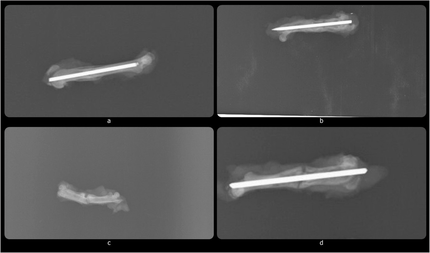 Radiographs of the fractured femora in the experimental platelet-rich fibrin study group (a, b) and the control group (c, d).