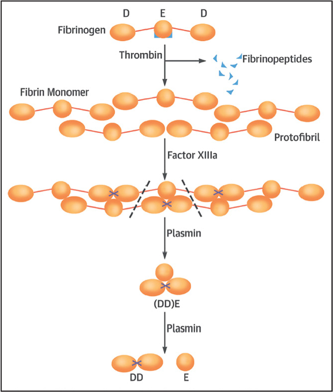 Fibrinogen is clotted by thrombin, and the fibrin monomers that are produced polymerize spontaneously into protofibrils. The tensile strength of the fibrin network is enhanced by factor XIIIa, which cross-links adjacent monomers. Plasminogen activation is enhanced with fibrin formation, and the resultant plasmin digests the individual fibers. Plasmin cleavage between the D and E domains yields (DD)E, the noncovalent complex of D-dimer (DD) and fragment E. Further proteolysis liberates fragment E from DD. [Reprinted from Journal of the American College of Cardiology, 70(19), Weitz JI, Fredenburgh JC, Eikelboom JW. A test in context: D-dimer, 2411–2420, 2017, with permission from Elsevier.]