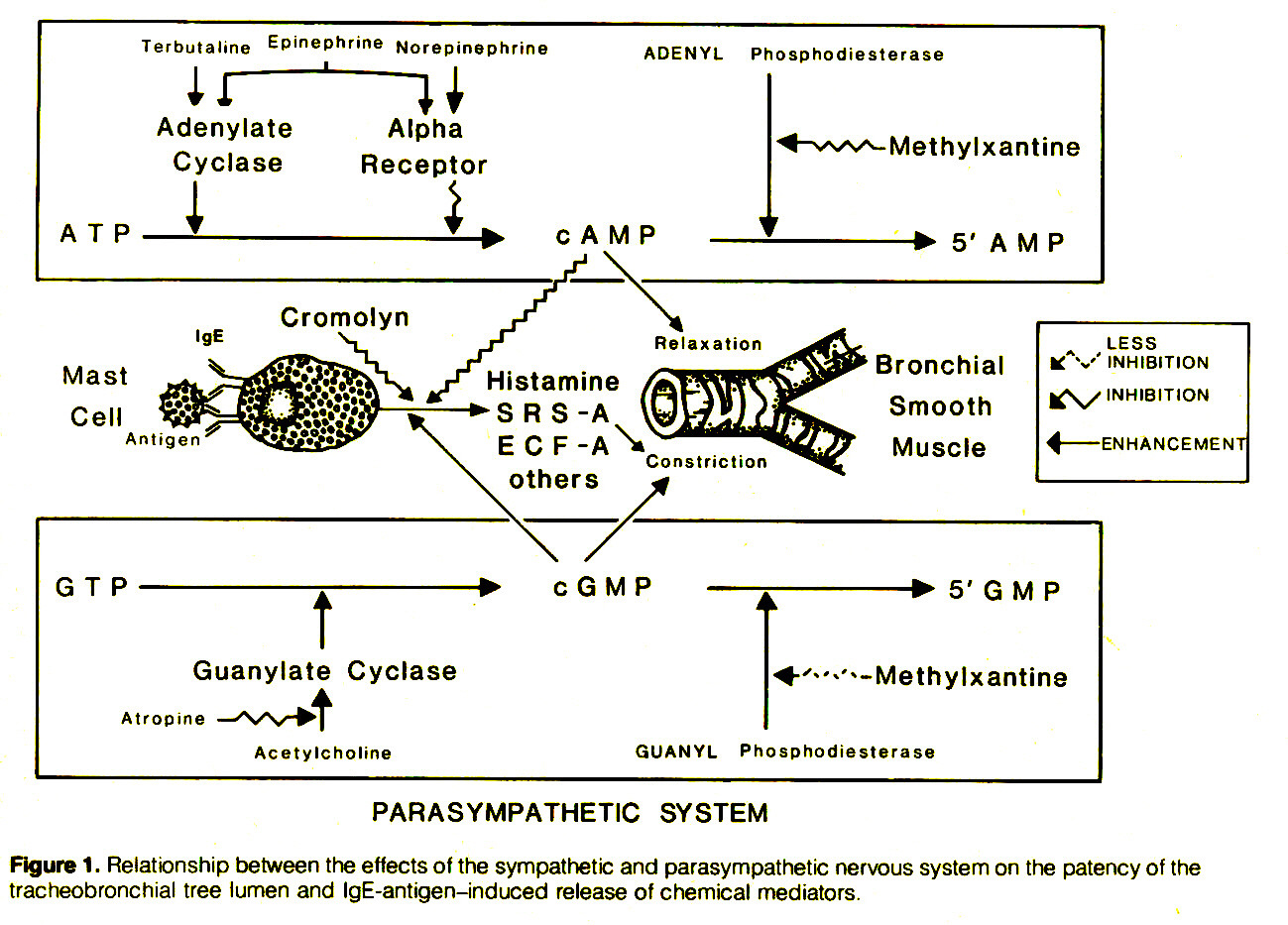 Figure 1. Relationship between the effects of the sympathetic and parasympathetic nervous system on the patency of the tracheobronchial tree lumen and IgE-antigen-induced release of chemical mediators.