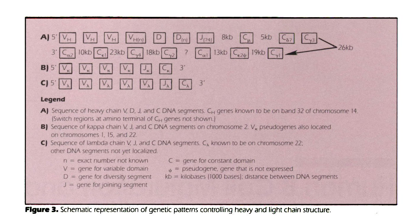 Figure 3. Schematic representation of genetic patterns controlling heavy and light chain structure.