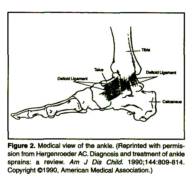 Figure 2. Medical view of the ankle. (Reprinted with permission from Hergenroeder AC. Diagnosis and treatment of ankle sprains: a review. Am J Dis Child. 1990:144:809-814. Copyright ©1 990, American Medical Association.)
