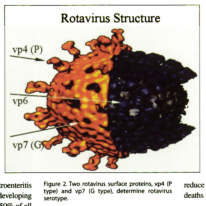 Figure 2. Two rotavirus surface proteins, vp4 (P type) and vp7 (G type), determine rotavirus serotype.