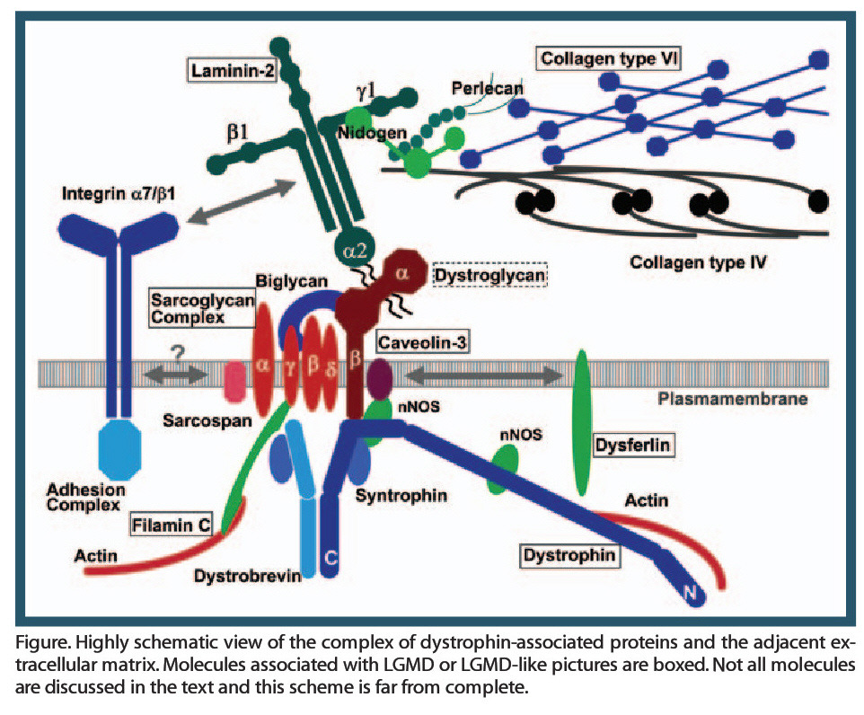 Figure. Highly schematic view of the complex of dystrophin-associated proteins and the adjacent extracellular matrix. Molecules associated with LGMD or LGMD-like pictures are boxed. Not all molecules are discussed in the text and this scheme is far from complete.