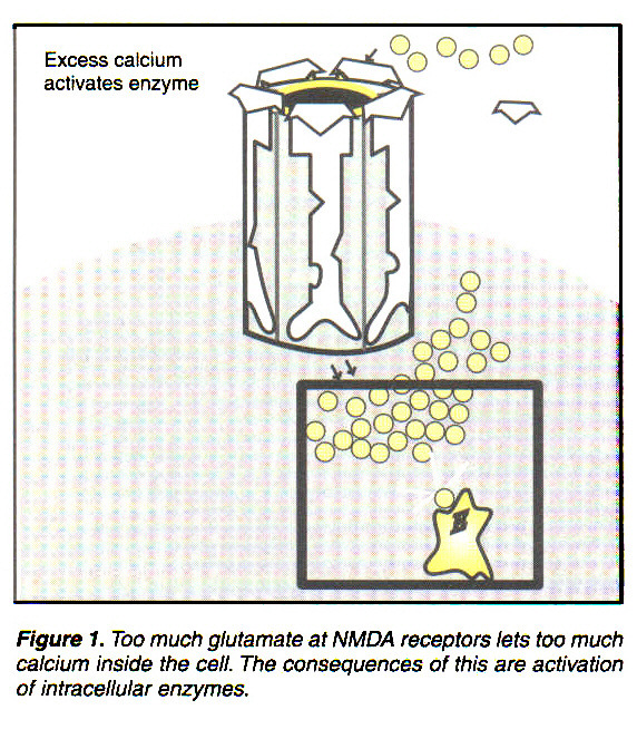 Figure 1. Too much glutamate at NMDA receptors lets too much calcium inside the cell. The consequences of this are activation of intracellular enzymes.