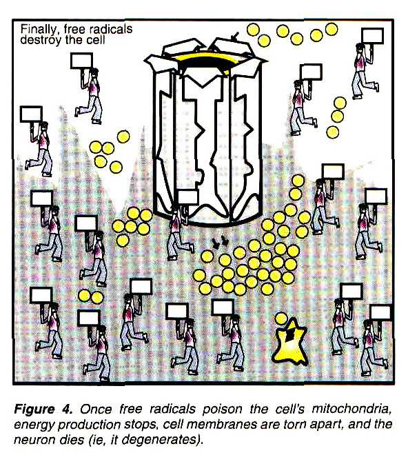 Figure 4. Once free radicals poison the cell's mitochondria, energy production stops, cell membranes are torn apart, and the neuron dies (ie, it degenerates).