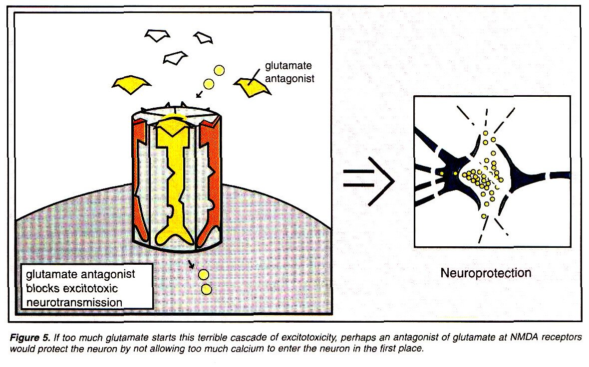 Figure 5. If too much glutamate starts this terrible cascade of excitotoxicity, perhaps an antagonist of glutamate at NMDA receptors would protect the neuron by not allowing too much calcium to enter the neuron in the first place.