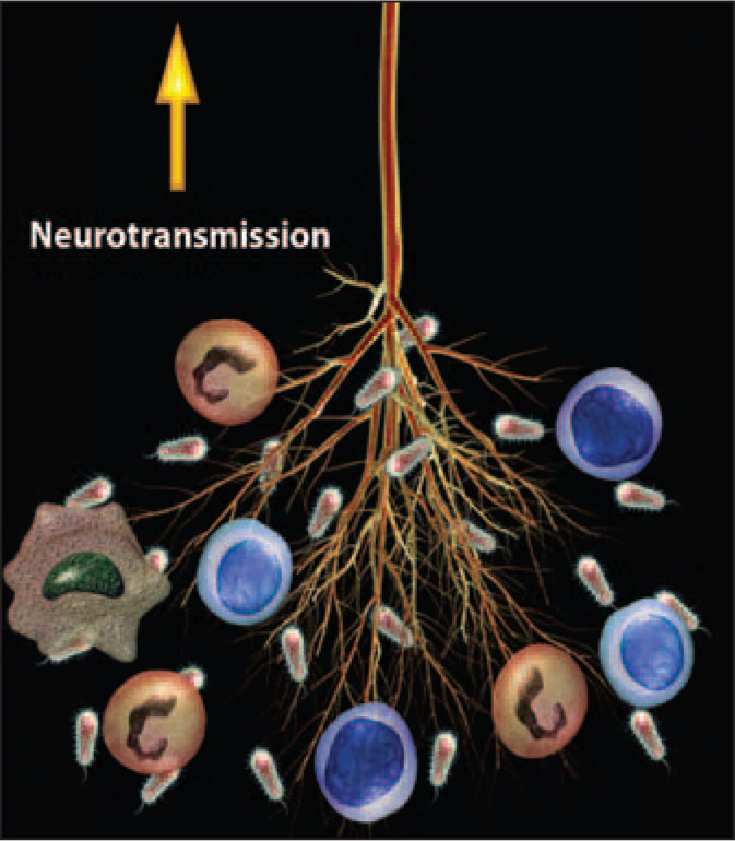 Peripheral Nerves, Such as the Vagus, Can Detect Cytokines Products by Immune Responses and Signal the Brain. Images of Cells and Bacteria Licensed from Zygote, Inc. A Note from the Editors: All Illustrations in This Article Have Been Created by George I. Viamontes, MD, PhD, for Specific Use in This Issue of Psychiatric Annals.