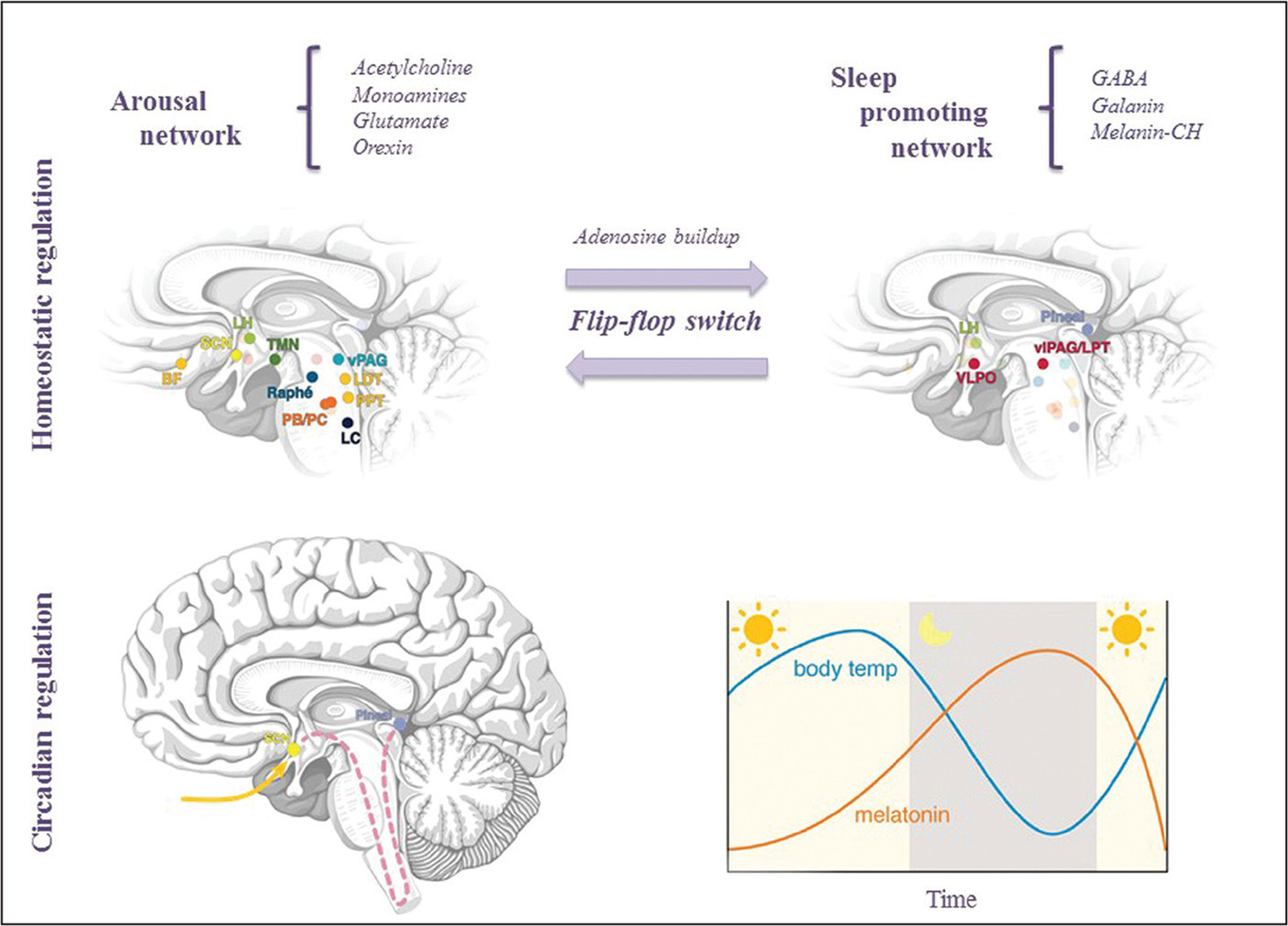Sleep-wake cycle regulation: homeostatic and circadian processes. Brain rhythms and, by extension, sleep-wake modulation, are coordinated through brainstem and hypothalamic nuclear activity. This regulation can be conceptualized in two processes: a homeostatic (top) and a circadian (bottom). Color coding for most significant neurotransmitters and hormones produced by noted areas: red, GABA; light green, orexin; dark green, histamine; purple, melatonin; light yellow, vasoactive intestinal polypeptide and arginine vasopressin; dark yellow, acetylcholine; light orange, melanin concentrating hormone; dark orange, glutamate; light blue, dopamine; blue, serotonin; dark blue, noradrenaline. BF, basal forebrain; GABA, gamma-aminobutyric acid; LC, locus coeruleus; LDT, laterodorsal tegmental; LH, lateral hypothalamus; PPT, pedunculopontine tegmental; SLD/PB/PC, sublaterodorsal/medial parabrachial/precoeruleus region; SCN, suprachiasmatic nucleus; TMN, tuberomammillary nucleus; vPAG, ventral periaqueductal gray; vlPAG/LPT, ventrolateral periaqueductal gray/lateral pontine tegmental; VLPO, ventrolateral preoptic.