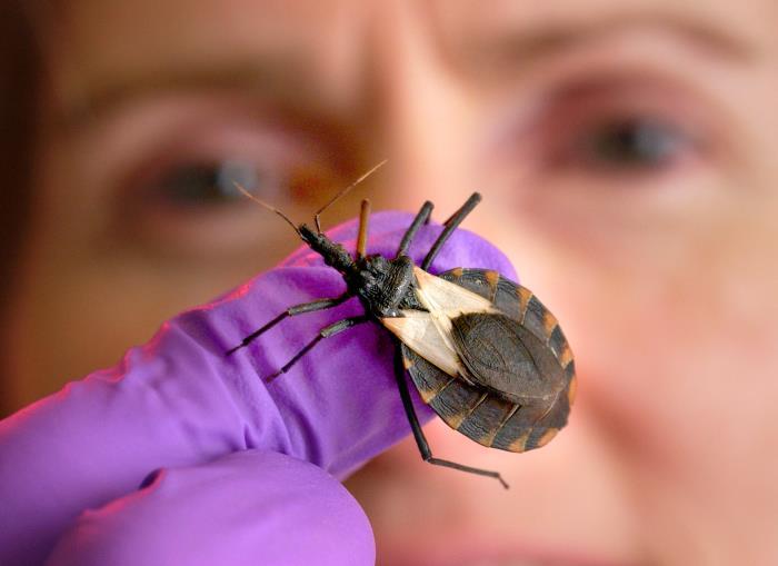 Image of kissing bug